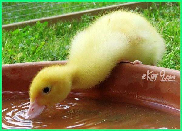 fakta bebek, fakta bebek sinjay, fakta bebek peking, fakta bebek petelur, fakta dari bebek, fakta lucu tentang bebek