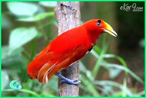 burung cendrawasih raja ampat di gambar suara foto makanan cenderawasih klasifikasi download ciri harga cara merawat persamaan biru dan merah perbedaan