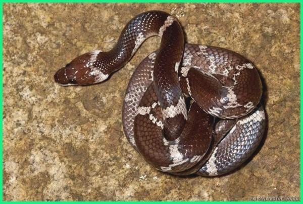 gambar jenis ular di indonesia