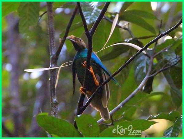 bidadari halmahera burung barat gambar klasifikasi ciri dari di deskripsi fauna foto hewan habitat manfaat pemeran