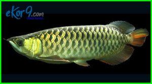jual ikan hias arwana