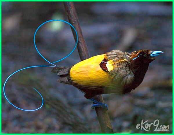 burung cendrawasih wikipedia indonesia, populasi burung cendrawasih di indonesia, burung cendrawasih di indonesia, burung cendrawasih asli indonesia, burung cendrawasih termasuk fauna indonesia bagian, burung cendrawasih berasal dari indonesia bagian, burung cendrawasih merupakan fauna indonesia bagian, jenis burung cendrawasih di indonesia, asal burung cendrawasih di indonesia, habitat burung cendrawasih di indonesia