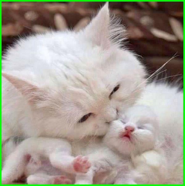 gambar kucing melahirkan, gambar kucing anggora anakan lucu baru lahir