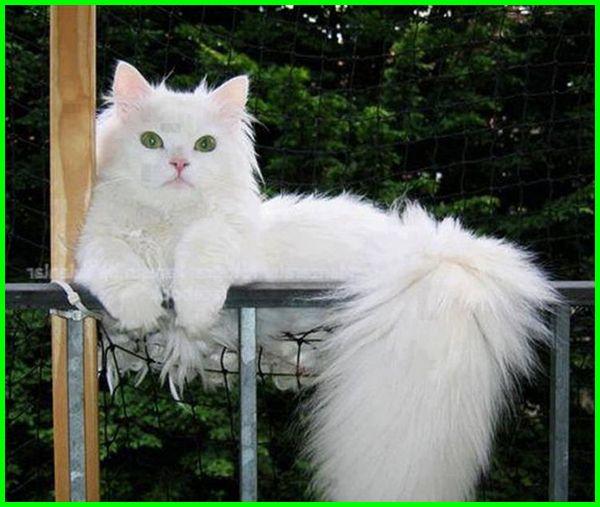 gambar kucing anggora besar lucu, gambar kucing anggora lucu banget, gambar kucing anggora putih lucu, gambar kucing anggora persia lucu