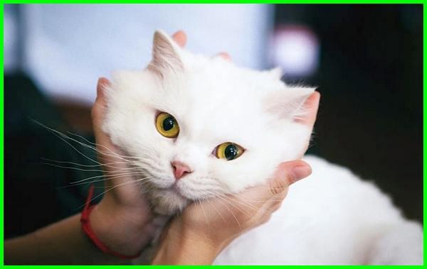 gambar gambar kucing anggora lucu, gambar kucing anggora imut dan lucu, gambar kucing anggora yang imut dan lucu, gambar kucing anggora besar lucu, gambar kucing anggora lucu banget, gambar kucing anggora putih lucu, gambar kucing anggora persia lucu