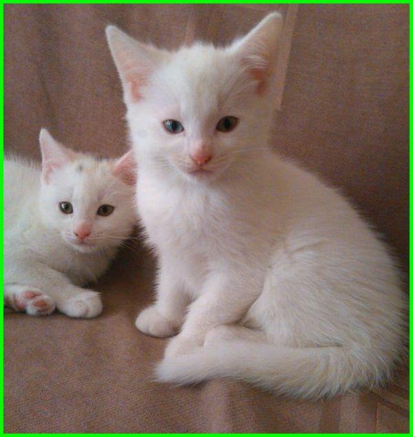 gambar kucing anggora lucu imut gemesin, gambar kucing anggora yang lucu menggemaskan, gambar kucing anggora dan persia yang lucu