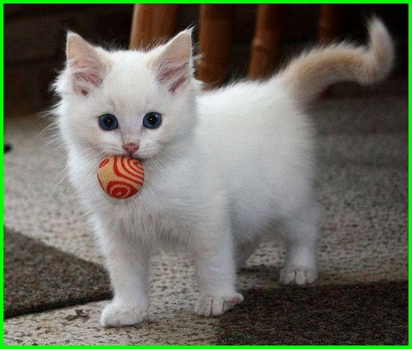 gambar kucing anggora kecil, gambar kucing anggora anakan, gambar kucing anggora anak, gambar kucing anggora.com, gambar kucing anggora comel, jenis dan gambar kucing anggora ,foto dan gambar kucing anggora, foto gambar kucing anggora, gambar foto kucing anggora
