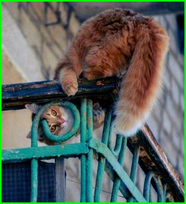 gambar kucing anggora putih lucu, gambar kucing anggora persia lucu, gambar kucing anggora yg lucu, gambar kucing anggora yang lucu dan imut, gambar anak kucing anggora yang lucu
