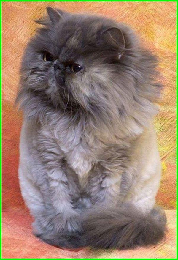 gambar kucing anggora warna hitam