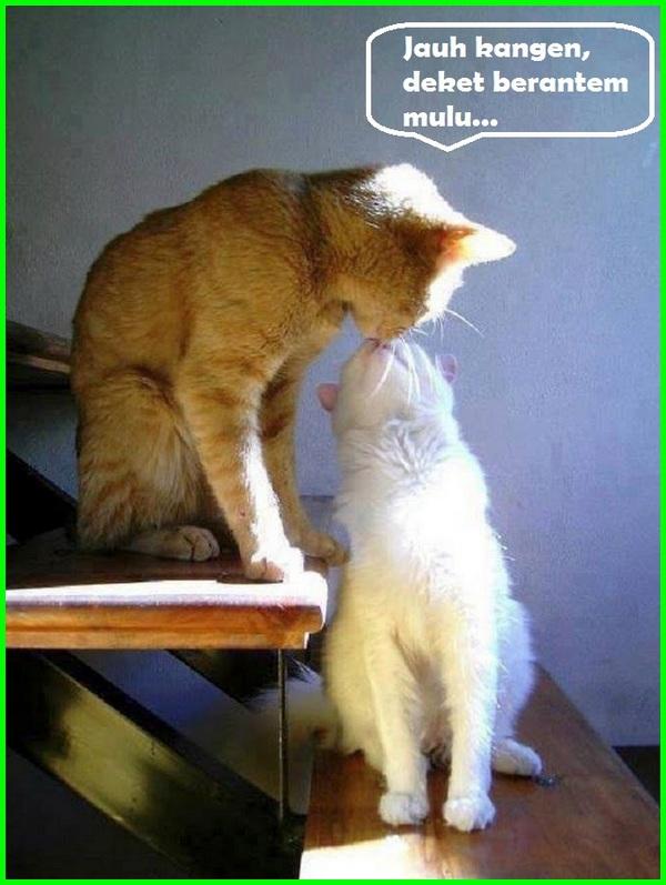 kucing berciuman, cat kissing, cat kiss