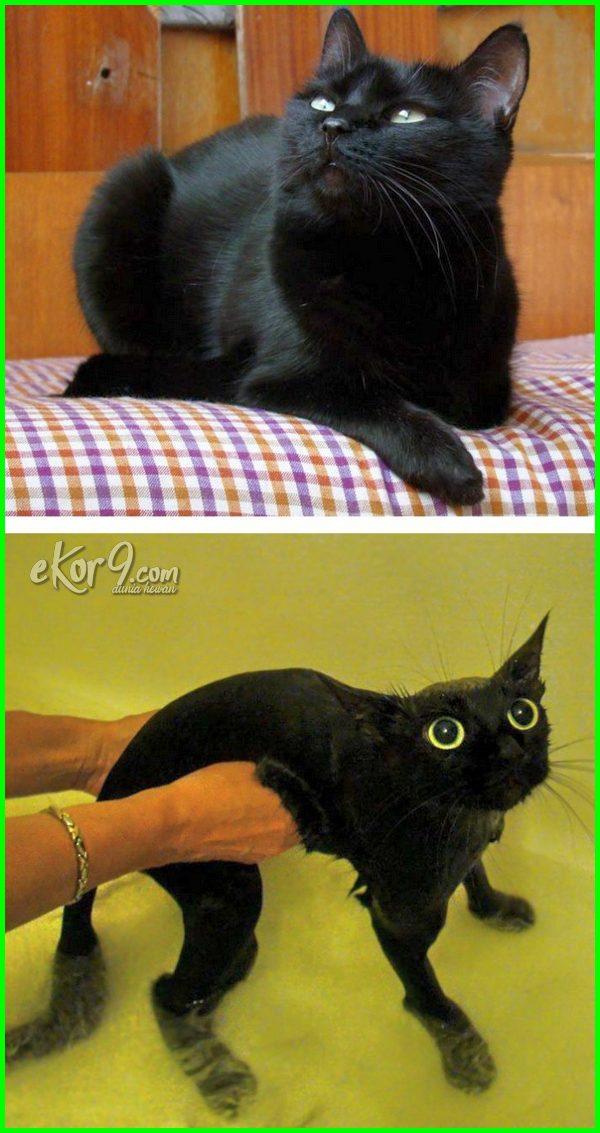 gambar kucing mandi lucu