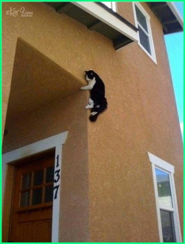 kucing memanjat, kucing memanjat rumah, kucing memanjat pohon tinggal apanya, tempat memanjat kucing, kucing suka memanjat, mimpi kucing memanjat, gambar kucing memanjat pohon, foto kucing memanjat pohon, gambar kucing memanjat, kenapa kucing suka memanjat