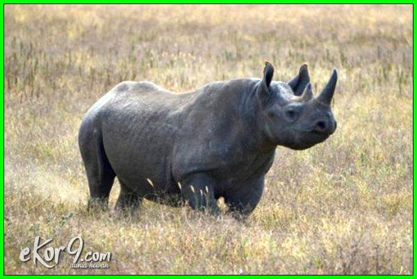 hewan buas apa saja, hewan berbahaya ganas liar, hewan buas berkelahi, hewan buas bertarung, hewan buas berantem