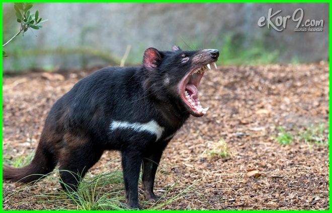 hewan buas berantem, hewan buas english, hewan buas foto, foto hewan ganas, foto hewan ganas di dunia, foto2 hewan ganas, hewan buas gambar, hewan kecil ganas, hewan buas lucu, hewan ganas mematikan