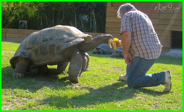 umur hewan, umur panjang, umur kura kura brazil, hewan yg umurnya panjang