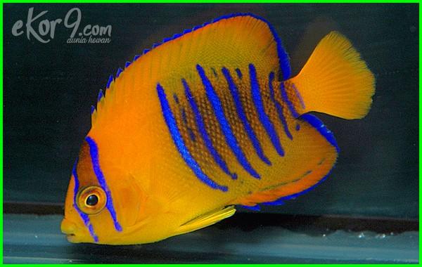 ikan hias air laut mahal, ikan hias air laut paling mahal, ikan hias air laut yg mahal, jenis ikan hias air laut yang mahal