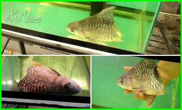 ikan masih hidup setelah dipotong, ikan dipotong masih hidup, ikan berbadan setengah masih hidup, ikan di potong masih hidup, kenapa ikan dipotong masih hidup