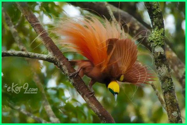 burung cendrawasih indonesia wikipedia populasi di asli gambar bahasa termasuk fauna bagian berasal dari merupakan jenis asal yang ada endemik persebaran penangkaran habitat jumlah macam-macam dan kasuari kawasan adalah hewan khas daerah apa manfaat bagi rakyat