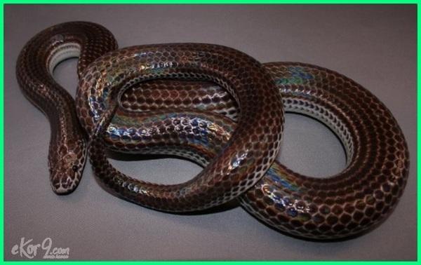 kumpulan jenis ular di indonesia