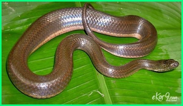 jenis ular air di indonesia, jenis ular air tawar di indonesia