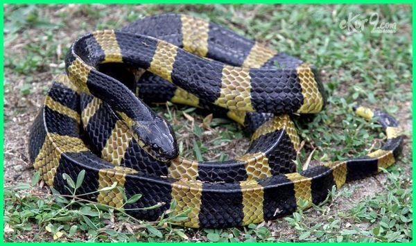 jenis jenis ular lokal indonesia