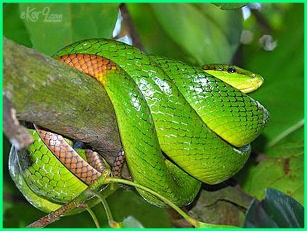 jenis ular hijau pohon di indonesia