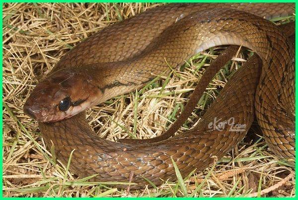 jenis ular sawah di indonesia