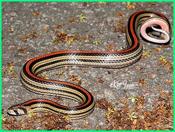 jenis ular indonesia yang tidak berbisa kobra asli lokal viper colubrid air python kecil di ada tawar berbahaya beracun besar paling tak sanca mematikan tanah terbesar semua endemik foto gambar hijau hitam hidup jumlah kumpulan langka laut macam mengenal yg nama piton phyton raksasa sawah dilindungi