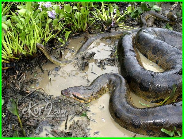 jenis ular yang melahirkan, ular apa yang melahirkan, contoh ular yang melahirkan, ular yang bisa melahirkan, adakah ular yang melahirkan, ular yang bertelur melahirkan, ular melahirkan 50 anak, ular apa saja yang melahirkan, jenis ular yang bertelur melahirkan, ular yang bertelur dan melahirkan