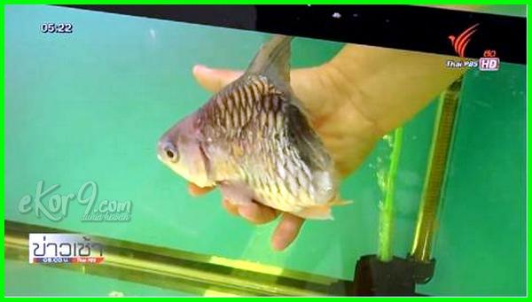 ikan setengah hidup, ikan berbadan setengah masih hidup, sebuah kolam ikan berbentuk setengah lingkaran, ikan hidup setengah badan, contoh ikan setengah jadi, cacing di ikan setengah matang, gambar ikan setengah, jangan makan ikan setengah hidup