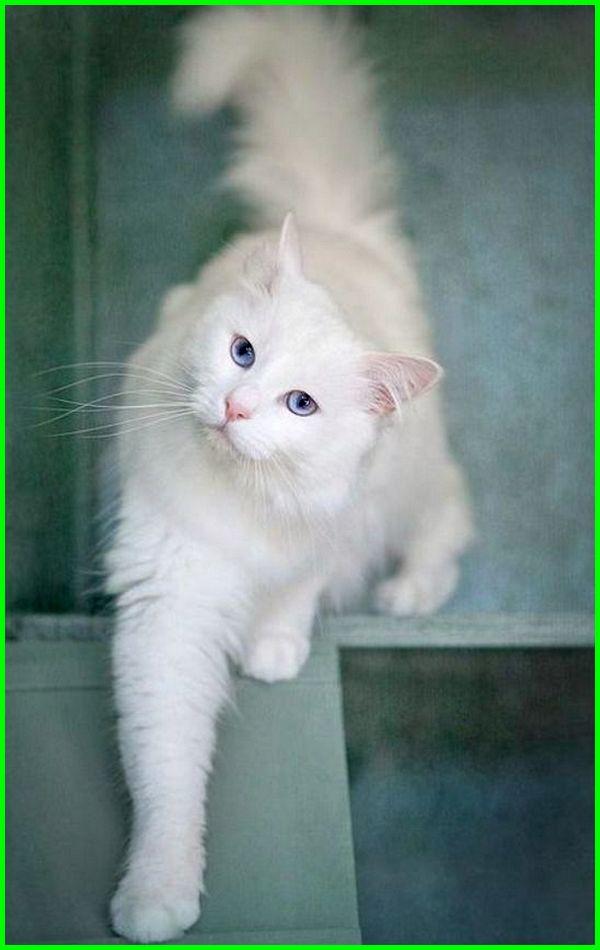 kucing anggora cantik