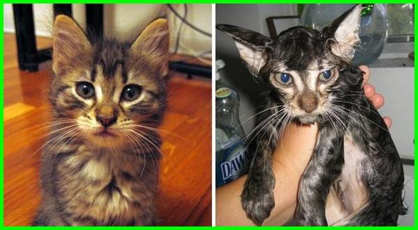 cara yang benar memandikan kucing, mandi yang baik untuk kucing