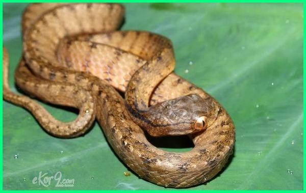 macam macam ular yang berada di indonesia