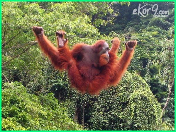 hewan langka dan tumbuhan langka di indonesia dan penjelasannya, hewan langka di indonesia dan manfaatnya, hewan langka di indonesia beserta manfaatnya, hewan langka di indonesia dan suaka margasatwanya
