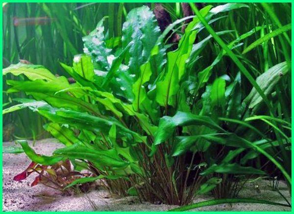 tanaman hias akuarium tawar, tanaman hias aquarium air laut, tanaman hias aquarium dari plastik, tanaman hias aquarium bogor, tanaman hias aquarium jogja, tanaman hias aquarium air tawar, tanaman hias akuarium air tawar surabaya