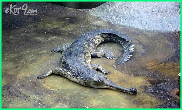buaya gavial