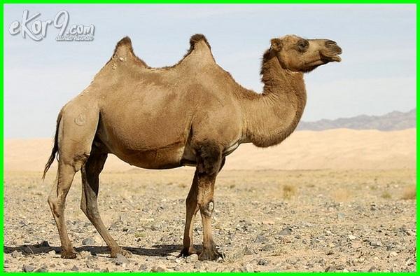 hewan yang hidup di padang pasir adalah adaptasi jenis ciri dapat gambar apa mampu nama bentuk cara saja agar bertahan bagaimana khusus didaerah antara lain contoh daerah tipe cocok untuk dan tumbuhan diperlukan oleh dipadang jelaskan sebutkan unta