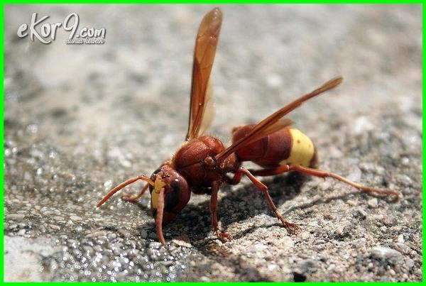 serangga yang memakan serangga lain, contoh serangga yang memakan serangga lainnya
