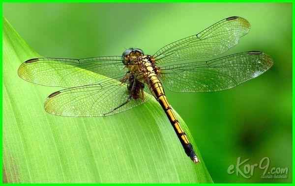 serangga yang memakan serangga lain, contoh serangga yang memakan serangga lain, sebutkan contoh serangga yang memakan serangga lain
