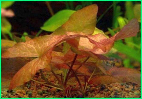 cara merawat tanaman hias akuarium air tawar, tanaman hias aquarium yang mudah didapat, cara merawat tanaman hias aquarium air tawar, tanaman hias air aquarium, tanaman hias asli aquarium, jenis tanaman hias akuarium air tawar