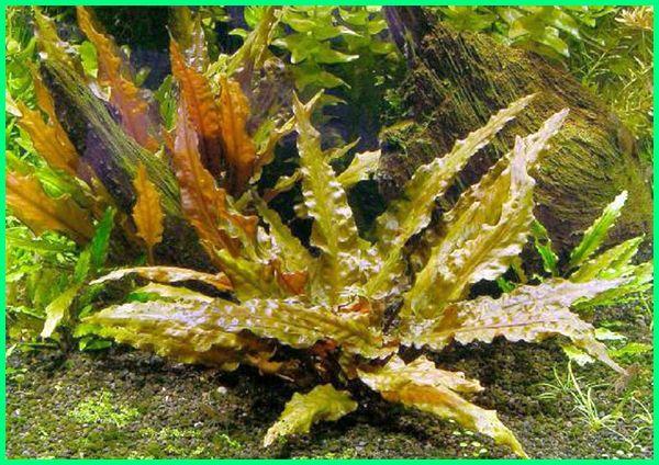 jenis tanaman hias untuk aquarium, harga tanaman hias untuk aquarium, nama tanaman hias untuk aquarium