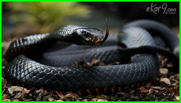 ular paling besar di brazil, ular ular paling berbahaya, ular berbisa paling berbahaya di dunia, ular berbisa paling berbahaya, foto ular paling berbahaya, foto ular paling berbahaya di dunia, foto ular yang paling berbahaya, foto ular yg paling berbahaya, gambar ular yang paling berbahaya, gambar ular yg paling berbahaya
