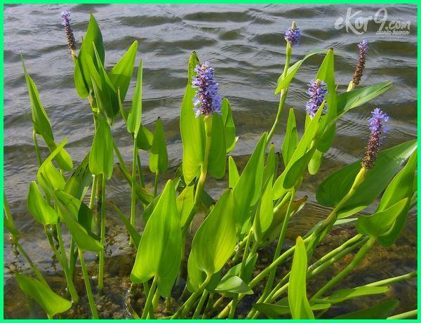 tanaman air, tanaman kolam ikan, tanaman pembersih air kolam ikan, tanaman untuk kolam, tanaman untuk kolam ikan, tanaman yang dapat menjernihkan air