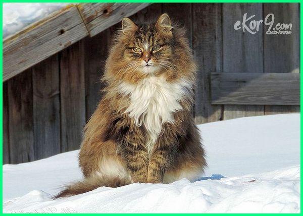 jenis kucing ukuran besar, jenis kucing yang besar, jenis kucing yg besar, 10 jenis kucing terbesar di dunia