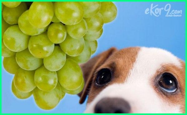 gambar poto anjing makan anggur makan, boleh hamil lucu kecil jual makanan foto video harga anak buat untuk ciri penyebab tanda bolehkah jika anjing memakan anggur tidak akibat bagaimana