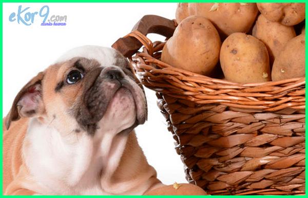 kandang anjing, anjing makan kentang, anjing boleh makan kentang, kentang buat anjing, anjing makan kentang goreng, anjing makan kentang rebus, kentang untuk anjing