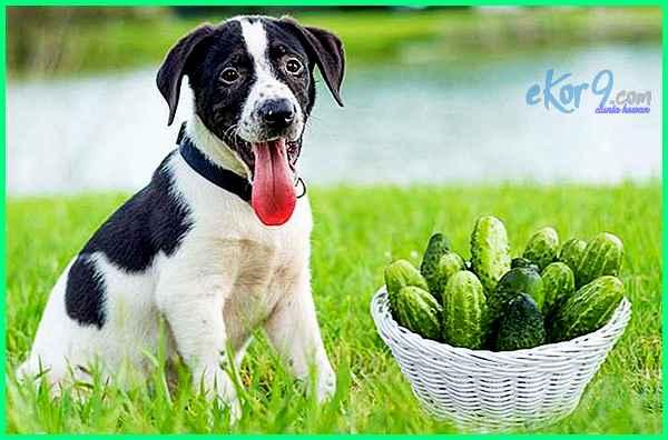 anjing makan timun, bolehkah anjing makan timun, anjing makan mentimun, timun untuk anjing, video anjing imut, foto anjing imut, video anak anjing imut, anjing saya karangan tahun 3, anjing umur 3 tahun