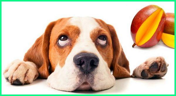 anjing dikasih mangga,anjing makan mangga, mangga untuk anjing