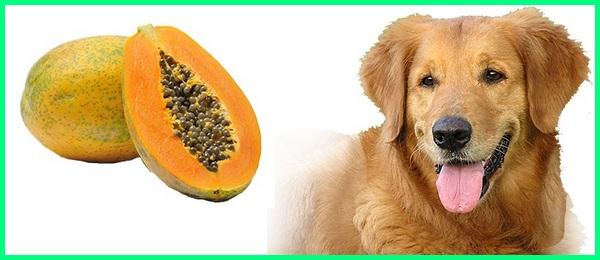 anjing makan pepaya, anjing makan buah pepaya, anjing suka pepaya, pepaya untuk anjing, pepaya buat anjing, pepaya bagus untuk anjing, pepaya boleh untuk anjing, pepaya baik untuk anjing