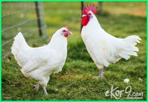 jenis ayam ras dan buras, jenis ayam broiler yang ada di indonesia, jenis baka ayam pedaging, jenis ayam buras pedaging, jenis ayam berdasarkan ras, jenis ayam bukan ras, jenis ayam broiler yang bagus, jenis pakan ayam pedaging yang bagus